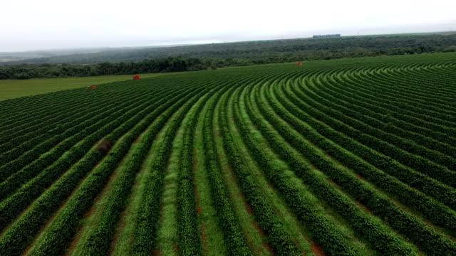 Coffee plantation video