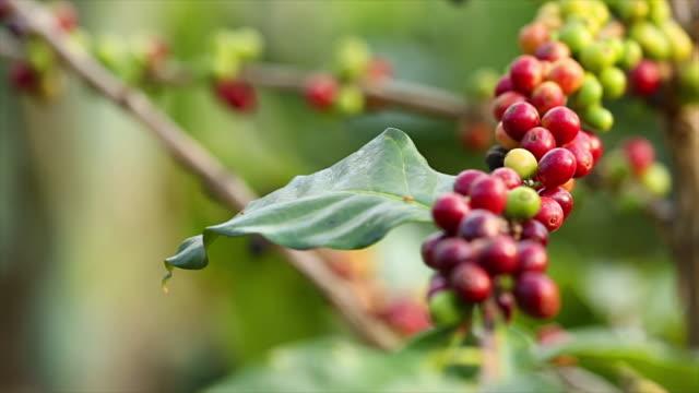Coffee Tree. video