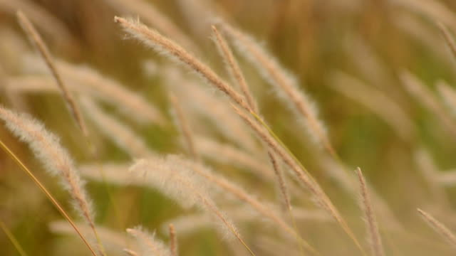 Cogon grass blowing in wind video