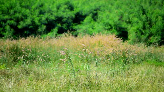 Cogon grass blowing in wind Cogon grass blowing in wind prairie stock videos & royalty-free footage