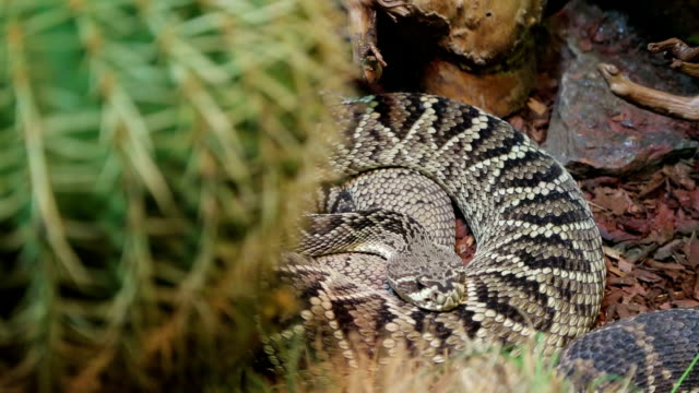 coiled rattlesnake - sostanza tossica video stock e b–roll