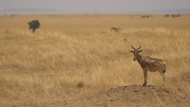 Coke's hartebeest in the savannah