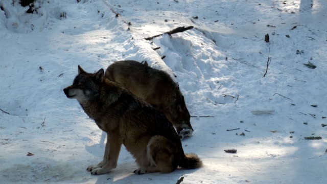 stockvideo's en b-roll-footage met cold wolf howl and wolves move through a forested area - yellowstone national park