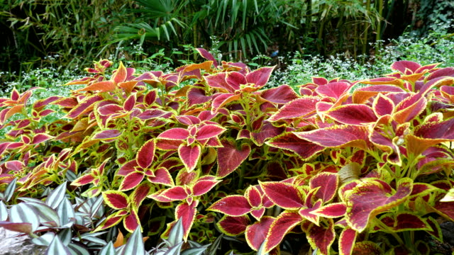 Coleus in the flower garden.
