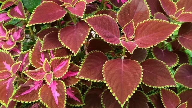 Coleus leaf, Plectranthus scutellarioides (L.) R. Br
