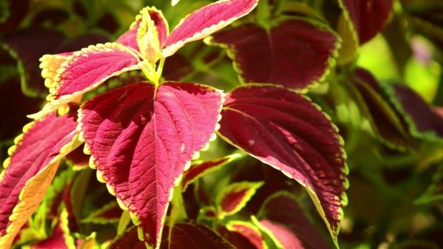 Coleus Plant Leaves Sunlit Garden Scene