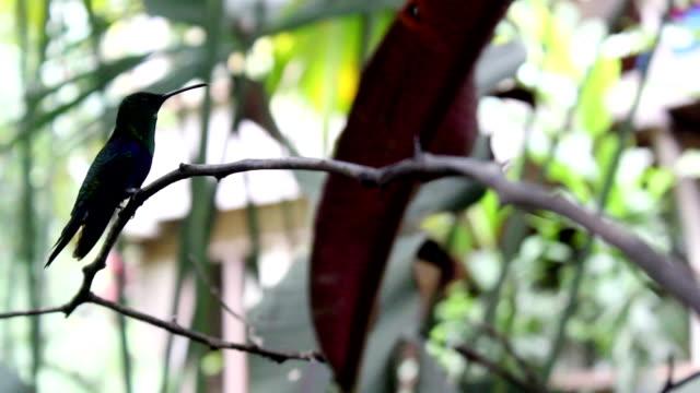 Colibrí colibri 4 - vídeo