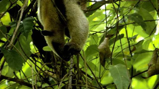 Collared anteater eating