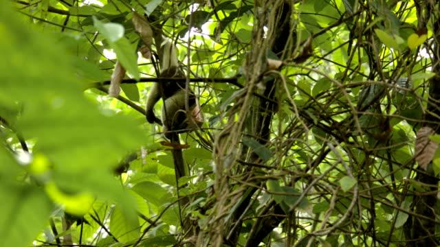 brauner ameisenbär füttern in baum - ameisenbär stock-videos und b-roll-filmmaterial