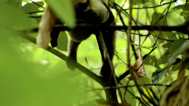 brauner ameisenbär sitzt auf einem ast - ameisenbär stock-videos und b-roll-filmmaterial