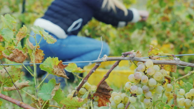 Collect the grapes in the foreground cluster of grapes, in the background a woman collects white grapes video