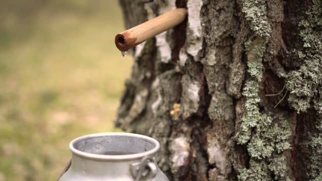 collecting birch tree sap video