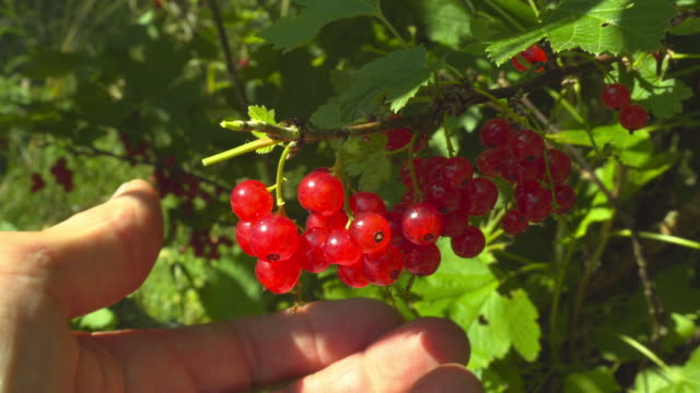 collecting red currants - ribes rosso video stock e b–roll