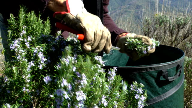 Collecting rosemary in the Alps Collecting rosemary in the Alps. The Italian man cuts leaves and flowers of rosemary in the mountains in the north of Italy, with garden scissors. herb stock videos & royalty-free footage