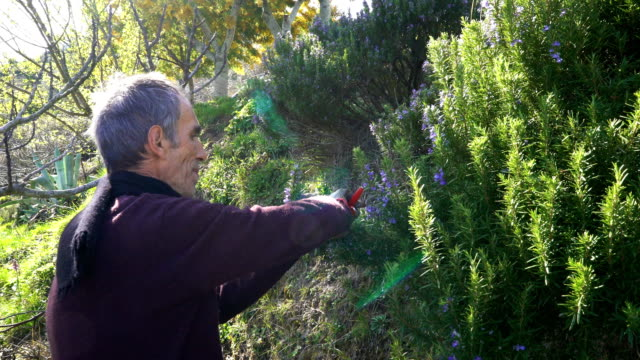 Collecting rosemary in the Alps video