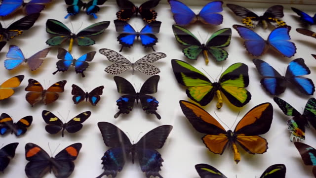 A collection of colorful and very beautiful butterflies behind the glass