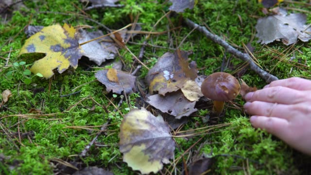 vídeos de stock e filmes b-roll de collection of edible mushrooms aspen in the forest in the moss - swiss army knife