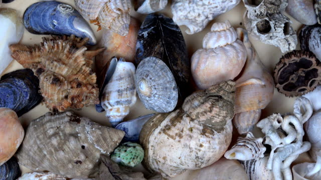 vídeos de stock e filmes b-roll de collection of seashells shell conch cockleshell for backgrounds - bugio