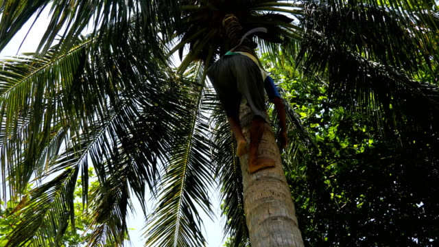 Collector of coconuts climbing on a palm tree Man collects coconuts on a palm tree to harvest coconuts. Coconuts collect from high palms only manually. coconut palm tree stock videos & royalty-free footage