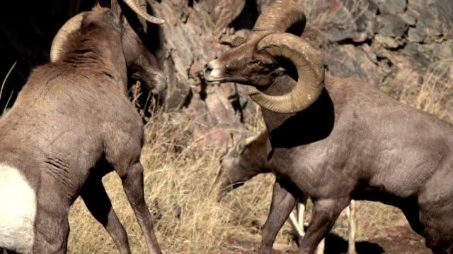 Colliding wild bighorn sheep hit horns Waterton Canyon Colorado slow motion HD video