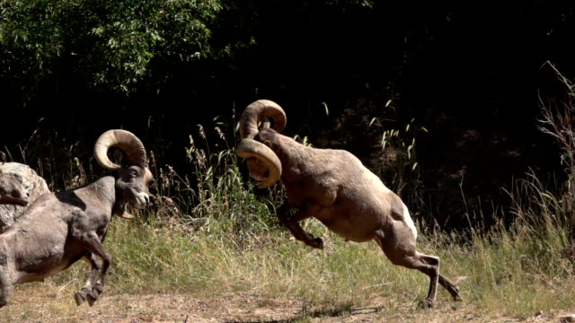 Colliding wild bighorn sheep hit horns Waterton Canyon Colorado slow motion HD video video