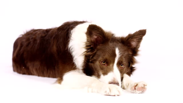 collie border dog closing her face with paws - border collie video stock e b–roll