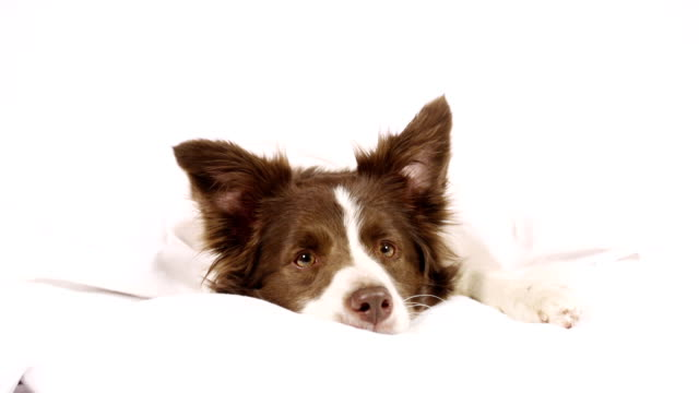 collie border dog lying on a bed under blanket - border collie video stock e b–roll