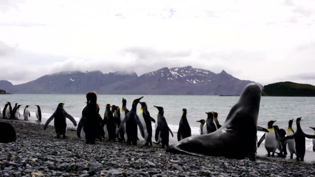 Colonies of breeding king penguins and fur seals together on a beach on South Georgia Island in the South Atlantic Ocean video