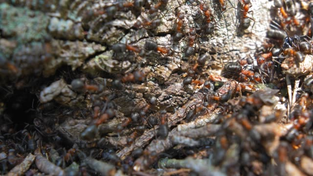 Colony of Ants in Forest Anthill with Pine Needles Slow Motion