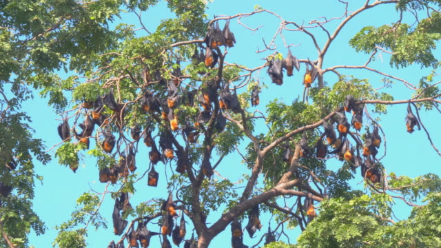Colony of bats hanging out upside down in trees