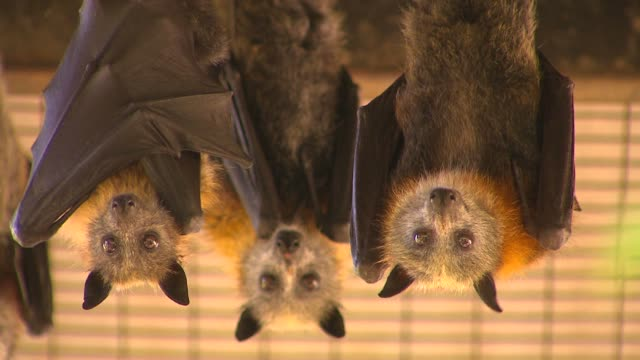 Colony of bats hanging upside down video