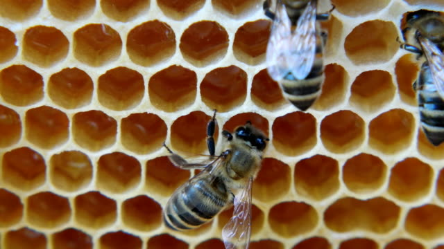colony of bees working in a hive. - alveare video stock e b–roll