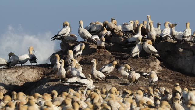 Colony of breeding Cape gannets, Bird island, Lamberts Bay, South Africa Colony of breeding Cape gannets (Morus capensis), Bird island, Lamberts Bay, South Africa south georgia and the south sandwich islands stock videos & royalty-free footage