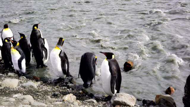 Colony of Emperor Penguins Colony of Emperor Penguins grytviken stock videos & royalty-free footage