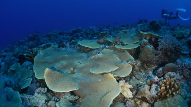 vídeos y material grabado en eventos de stock de colonia de coral duro submarinos - micronesia