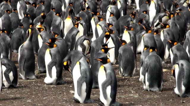 kolonia king penguins - ekoturystyka filmów i materiałów b-roll