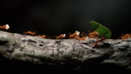istock 4K - Colony of leaf-cutting ants moves on a tree 1198296732