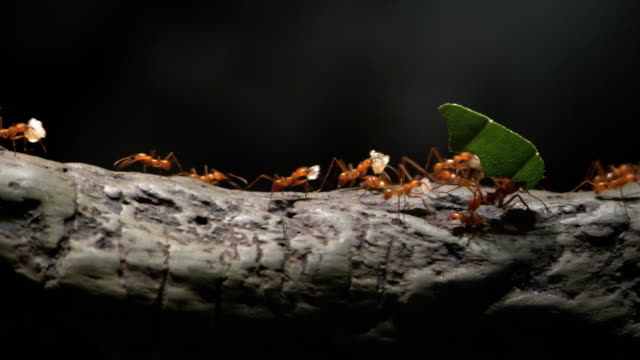 4k-koloni av löv-skärande myror flyttar på ett träd - bära bildbanksvideor och videomaterial från bakom kulisserna