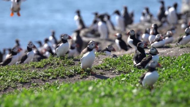 Colony of Puffins on the Farne Islands