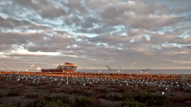 Colony of sea birds with shipwreck video