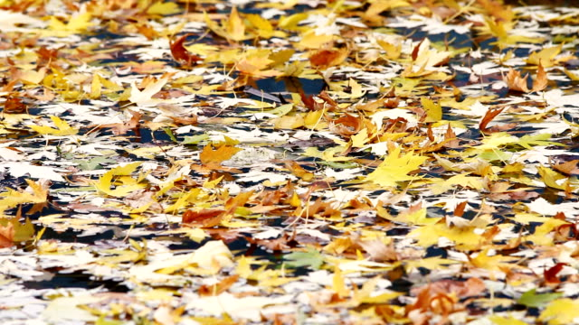 Color and dry leaves on the water. Autumn season. video