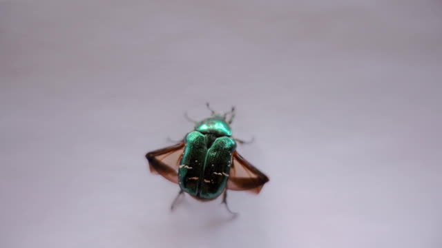 color green metallic beetle bronze opens its wings and took off. slow mo, slo mo - жук стоковые видео и кадры b-roll