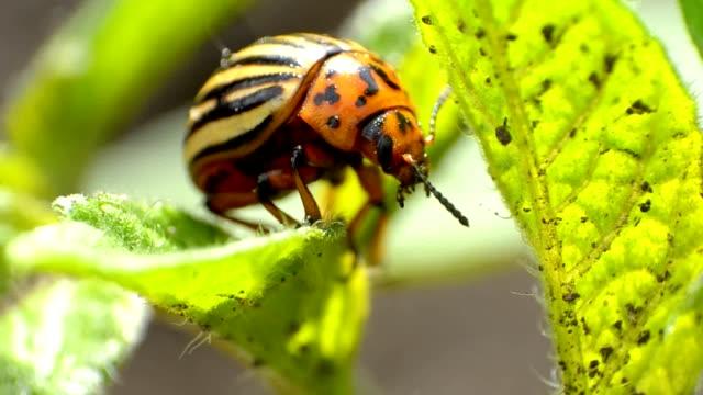 colorado käfer krabbeln - käfer stock-videos und b-roll-filmmaterial