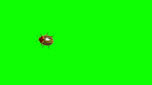 colorado beetle on green screen cg animated, seamless loop - жук стоковые видео и кадры b-roll