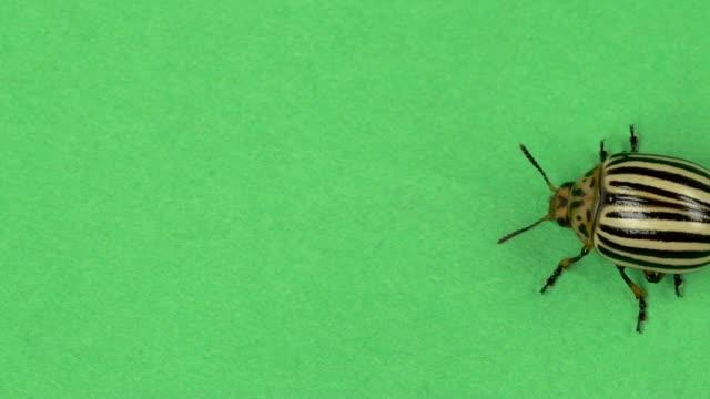 vídeos y material grabado en eventos de stock de escarabajo colorado en pantalla verde. cámara lenta - insecto