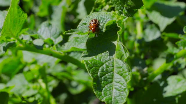 colorado käfer auf kartoffelblatt. - negativ bildart stock-videos und b-roll-filmmaterial
