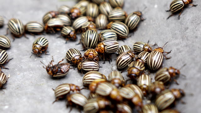 Colorado beetles and larvae. Pests of potatoes Colorado beetles and larvae. Pests of potatoes mottled stock videos & royalty-free footage