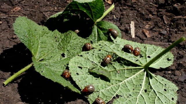 Colorado bug. video