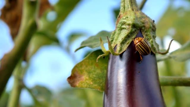 colorado pest beetle on eggplant and leaves - melanzane video stock e b–roll