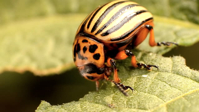 colorado potato beetle eats potato leaves, close-up - жук стоковые видео и кадры b-roll